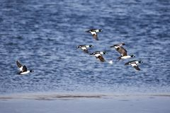 Migrating flock of golden eye ducks flying above the water in spring Stock Photography