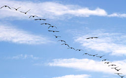 Migrating Geese Stock Photo