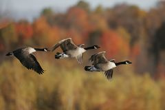 Migrating Geese Stock Photography