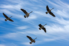 Free Migrating Geese Royalty Free Stock Image - 8949976
