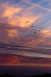 Migrating geese flocks at sunset Stock Image