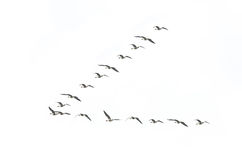 Migrating geese formation Royalty Free Stock Photos