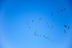 Migrating geese group Stock Photography