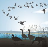 Migrating geese from lake shore. Vector illustration of wild geese to lake shore Stock Images