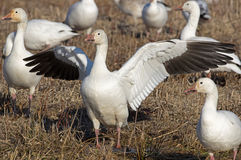 Migrating Greating Snow Geese Stock Photos