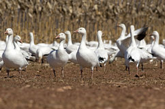 Migrating Greating Snow Geese Royalty Free Stock Image