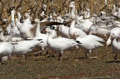 Migrating Greating Snow Geese Stock Photography