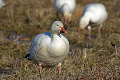 Migrating Greating Snow Geese Royalty Free Stock Photos