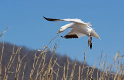 Migrating Greating Snow Geese Landing in Field Stock Photo
