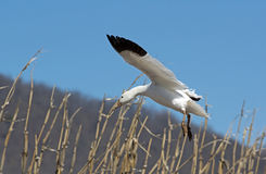 Migrating Greating Snow Geese Landing in Field Stock Images