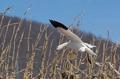Migrating Greating Snow Geese Landing in Field Stock Image