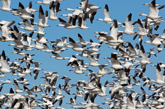 Migrating Greating Snow Migrating Royalty Free Stock Photo