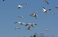 Migrating Greating Snow Migrating Royalty Free Stock Photography