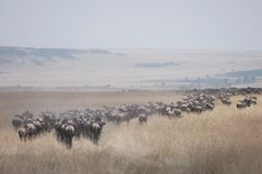 Migrating Herd Of Wildebeest Royalty Free Stock Image