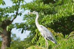 Migrating Japanese Crane in a garden during Summer. Season stock photos