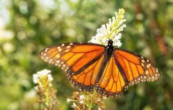 Migrating male Monarch butterfly in autumn, backlit by sun. Feeding on a white Buddleia flower cluster royalty free stock photography
