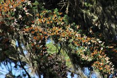 Migrating Monarch Butterflies Royalty Free Stock Photos