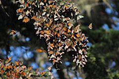Migrating Monarch Butterflies Stock Images