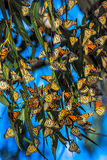 Migrating Monarch butterflies royalty free stock photography