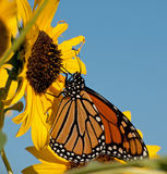 Migrating Monarch butterfly feeding on a sunflower Royalty Free Stock Photography