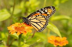 Migrating Monarch butterfly refueling on an orange Zinnia. Flower in fall stock image