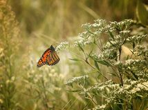 Monarch butterfly. Migrating orange black monarch butterfly stops for a rest on some white wildflowers Royalty Free Stock Images