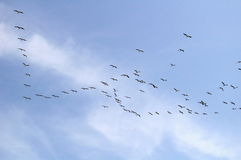 Migrating pelicans in flight royalty free stock image