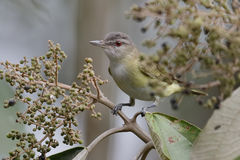 Migrating Red-eyed Vireo Perched in a Tree - Panama Stock Images