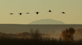 Migrating Sandhill Cranes Stock Image