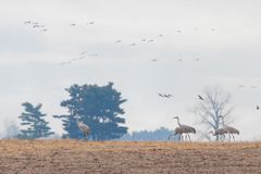 Migrating sandhill cranes invade a farm. Several feed from the recently plowed corn while many fly overhead royalty free stock images