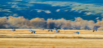 Migrating Sandhill Cranes. Panoramic Composition of a Small Group of Migrating Sandhill Cranes at Bosque del Apache National Wildlife Refuge, New Mexico, With Royalty Free Stock Images