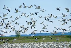 Migrating Snow Geese Royalty Free Stock Photography