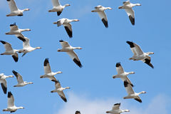 Migrating Snow Geese stock photography
