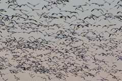 Migrating snow geese in Eastern Ontario, Canada Stock Photos