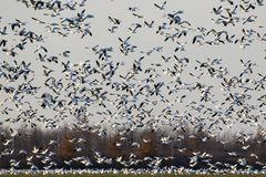 Migrating snow geese in Eastern Ontario, Canada Royalty Free Stock Images