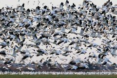 Migrating snow geese in Eastern Ontario in early winter Royalty Free Stock Image