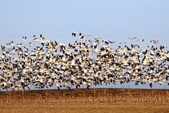 Migrating Snow Geese in Flight Royalty Free Stock Images