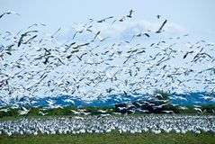 Migrating Snow Geese Flock Royalty Free Stock Images