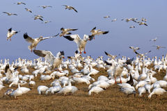 Migrating Snow Geese Fly in for Feeding Stock Photography