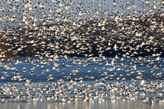 Migrating Snow Geese Fly Off Lake Royalty Free Stock Photo
