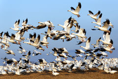 Migrating Snow Geese Fly Up Into Blue Sky Stock Photography