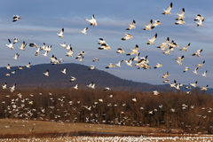 Migrating Snow Geese Fly Up Stock Image