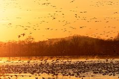 Migrating Snow Geese Flying at Sunrise Royalty Free Stock Image
