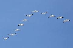 Migrating Snow Geese Flying in V Formation Royalty Free Stock Image