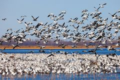 Migrating snow geese. Large flock of migrating snow geese on water and in flight Royalty Free Stock Image