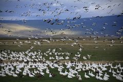 Migrating Snow Geese at Lower Klamath National Wildlife Refuge Royalty Free Stock Photography