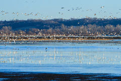 Migrating Snow Geese Royalty Free Stock Photo