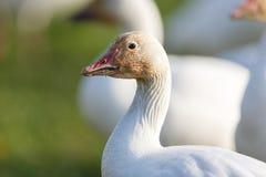 Migrating Snow Geese stock photos