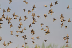 Migrating starlings on a background of gray sky Royalty Free Stock Photography