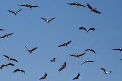 Migrating storks Stock Photo